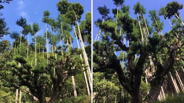 Stara japanska tehnika Daisugi omogućuje eko proizvodnju drveta bez ikakve sječe šuma...