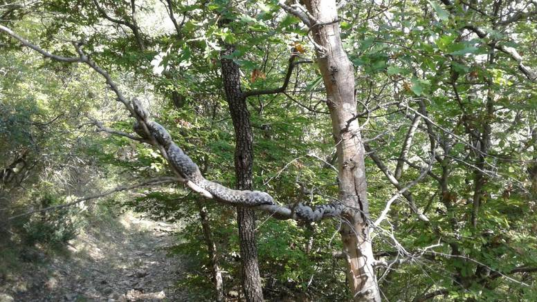 Brao šparoge i našao divovskog poskoka na grani: 'Najveći koji sam ikad vidio, izgleda strašno'