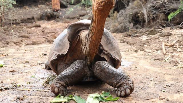 Zaslužena mirovina: 'Zdravi' libido kornjače spasio je  vrstu