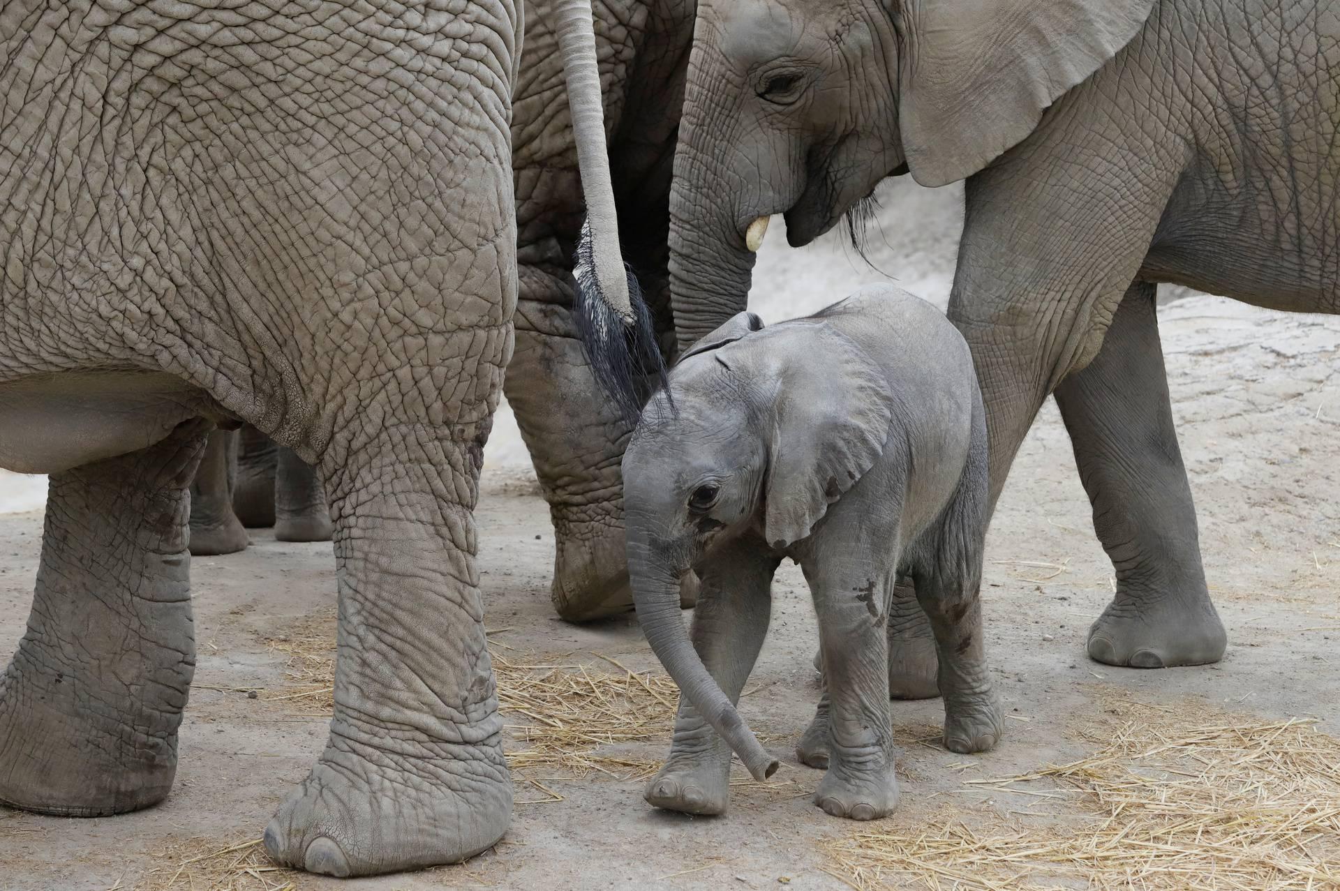 Slonovi teško podnose stres pa će im poljski Zoo za liječenje davati medicinsku marihuanu