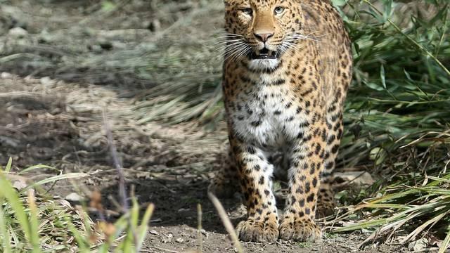 Majka sve prespavala? Leopard odnio bebu i otkinuo joj glavu!