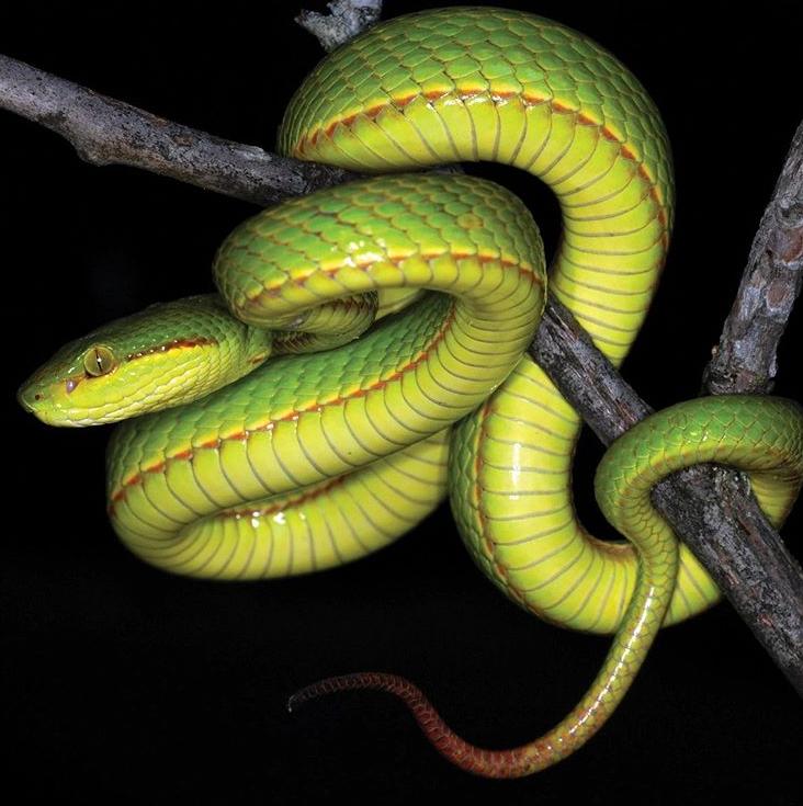 Otkrili novu zmiju otrovnicu te joj dali ime iz Harrya Pottera