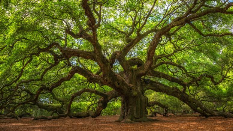 Najvažniji hrast na svijetu: Ovo je stablo ljude naučilo 'lekciju'
