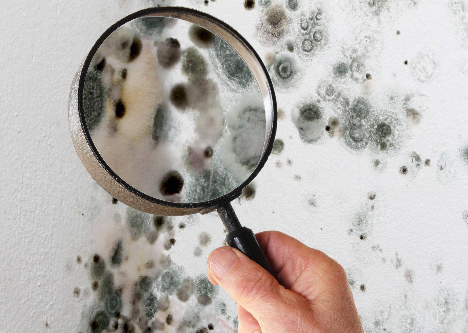 Man with magnifying glass checking mold fungus