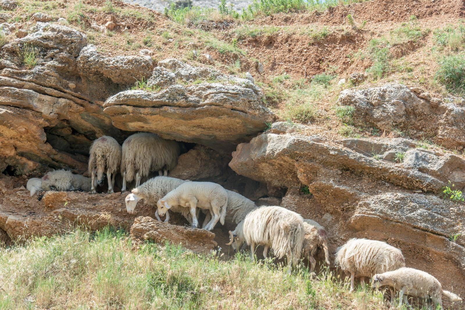 Država će platiti odštetu i ako vam poskok ugrize ovcu i kozu