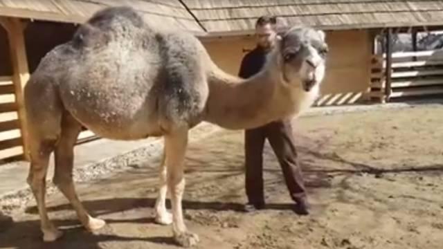 Đurđevačke deve uživaju u sunčanoj nedjelji i četkanju