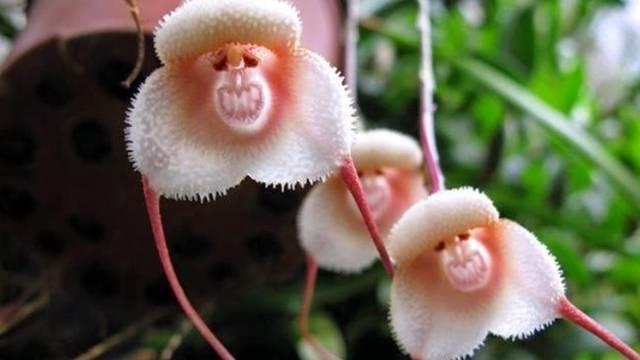 Oprašuju je šišmiši: Rijetka orhideja nalikuje majmunčiću