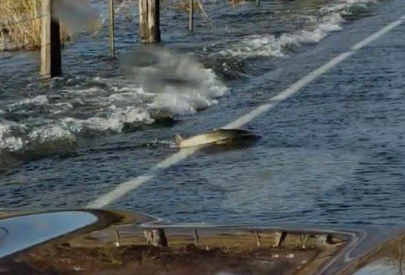 Njima je to posve normalno: Ribe prelaze poplavljenu cestu