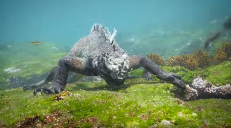 Zovu je Godzilla: Iguana velika kao čovjek hara morskim dnom