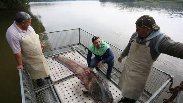 Čudo u Dunavu: U mrežu ušao som od čak 158 kila i tri metra