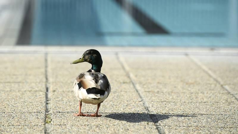 Patkica se ušuljala u gradski bazen i odradila prvi trening