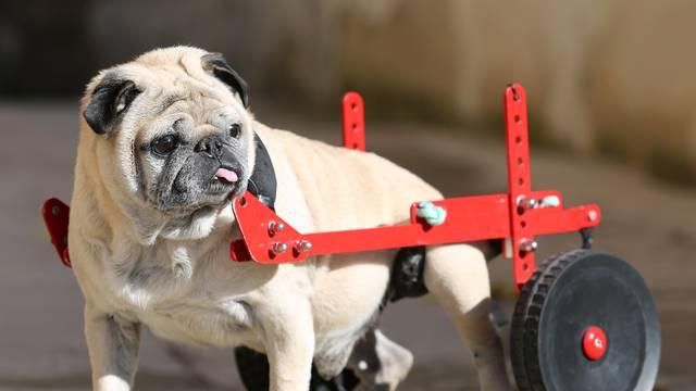 Pas s kolicima: Ide na prednji pogon, zna parkirati u rikverc