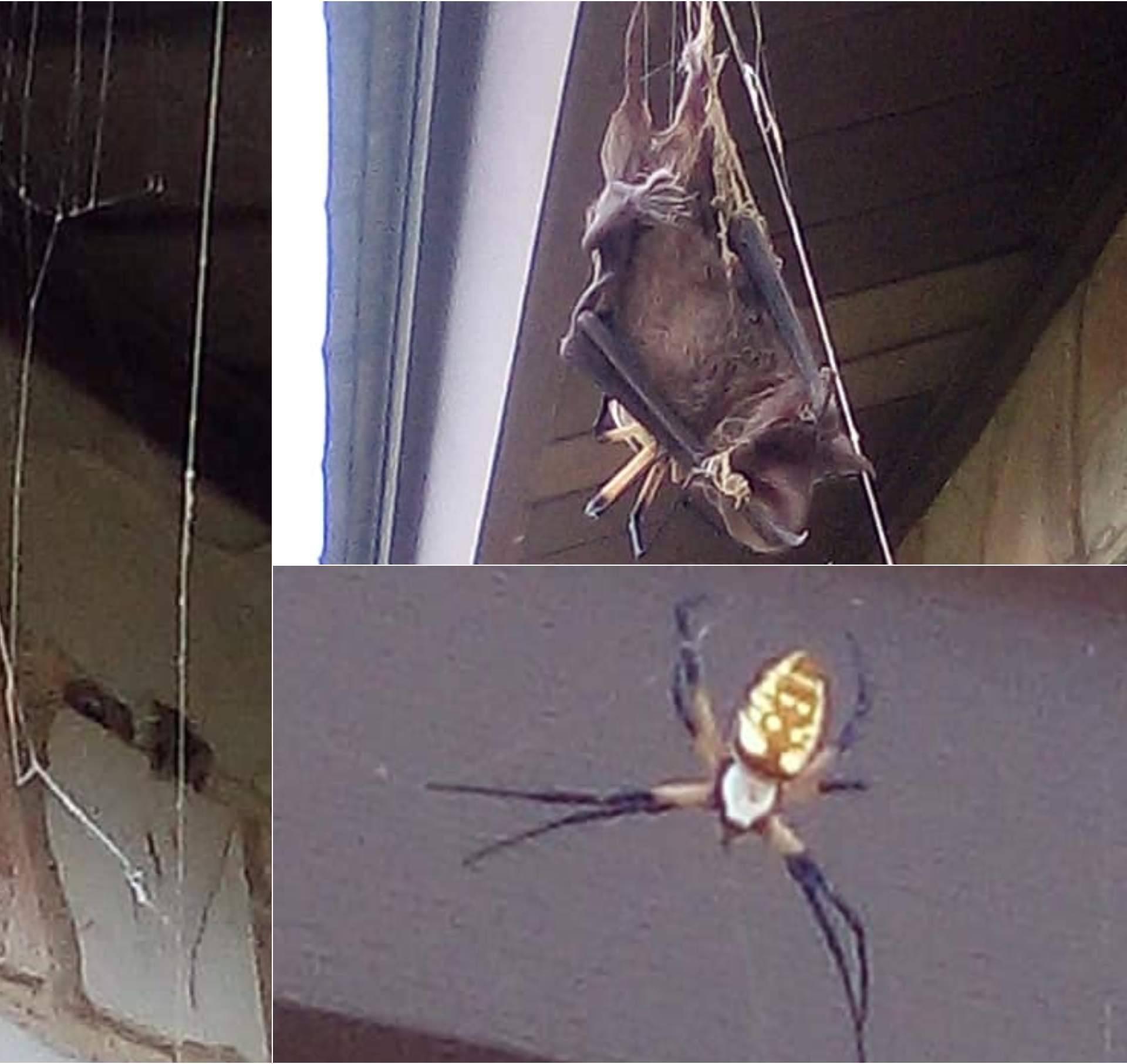 Doživjela šok u dvorištu kuće: Divovski pauk proždire šišmiša