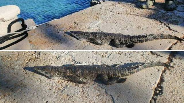 Uginuo krokodil s Visa: Odvest će ga u Split i tamo preparirati