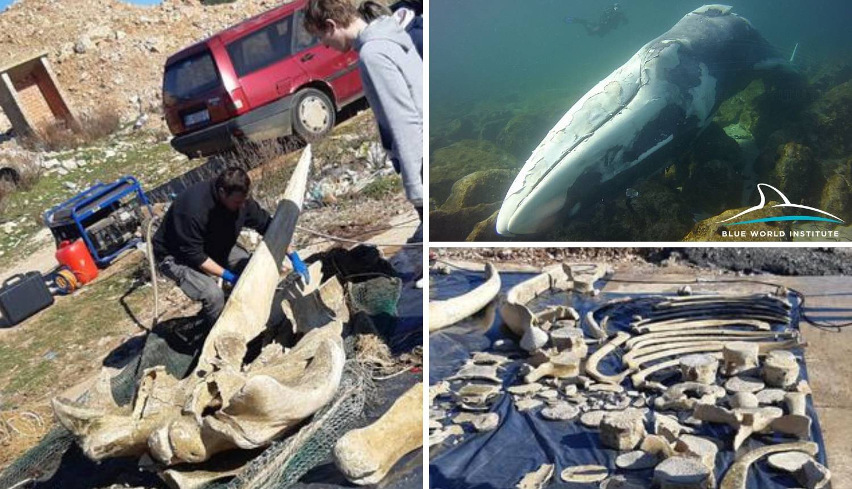 Potopili su kita da istrune kod Malog Lošinja: Sad slažu kosti