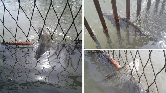 Vodeni svijet: Šarani i štuke im doplivali u dvorište u Pisarovini
