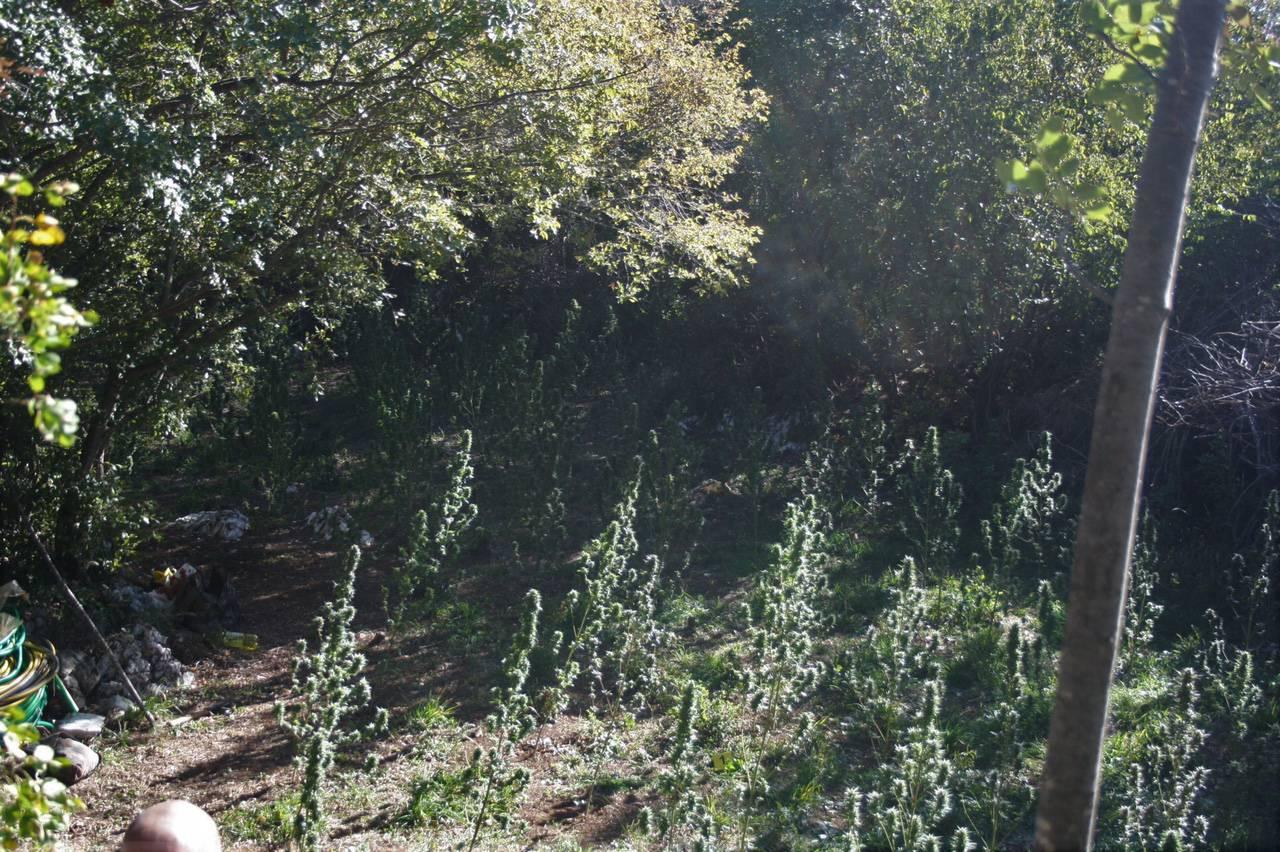 """Uhićen za """"poljoprivrednih radova"""" na plantaži marihuane"""