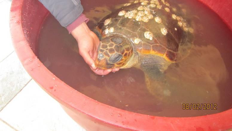 Jaka bura nakon riba iz mora izbacila i kornjaču u Posedarju