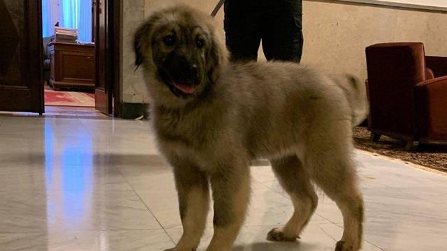 Srbi Putinu daruju štene: Ovo je Paša i imat će 60 kilograma