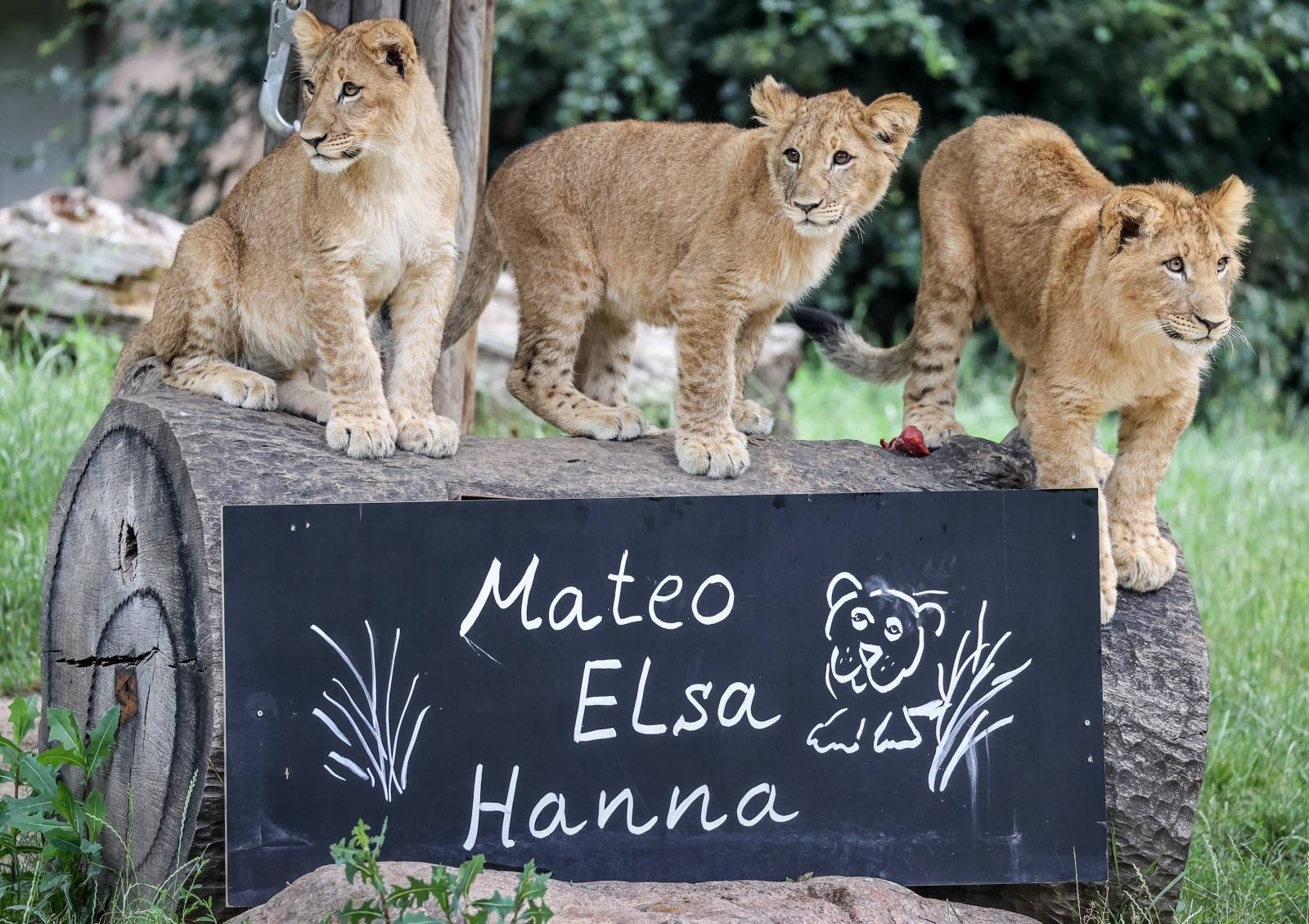 Baby lions baptized in Leipzig