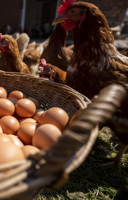 Jeste li u prehranu uključili jaja iz slobodnog uzgoja?