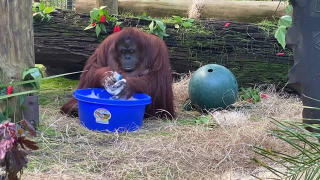Orangutanka pere ruke