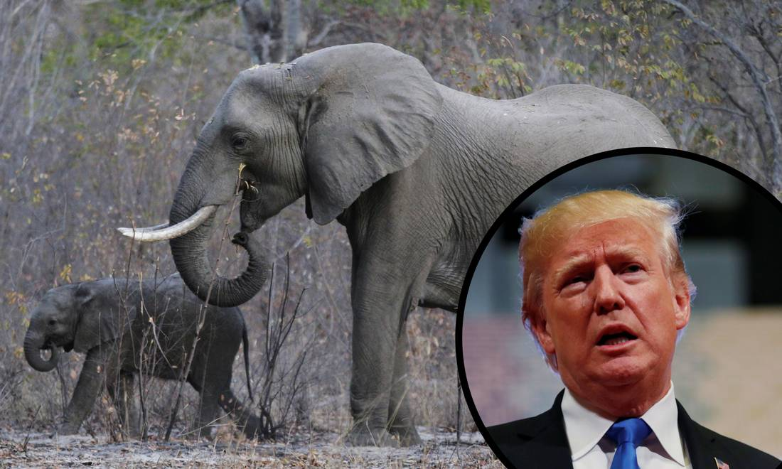 Bogati lovci neće moći uvoziti trofeje slonova ubijenih u Africi