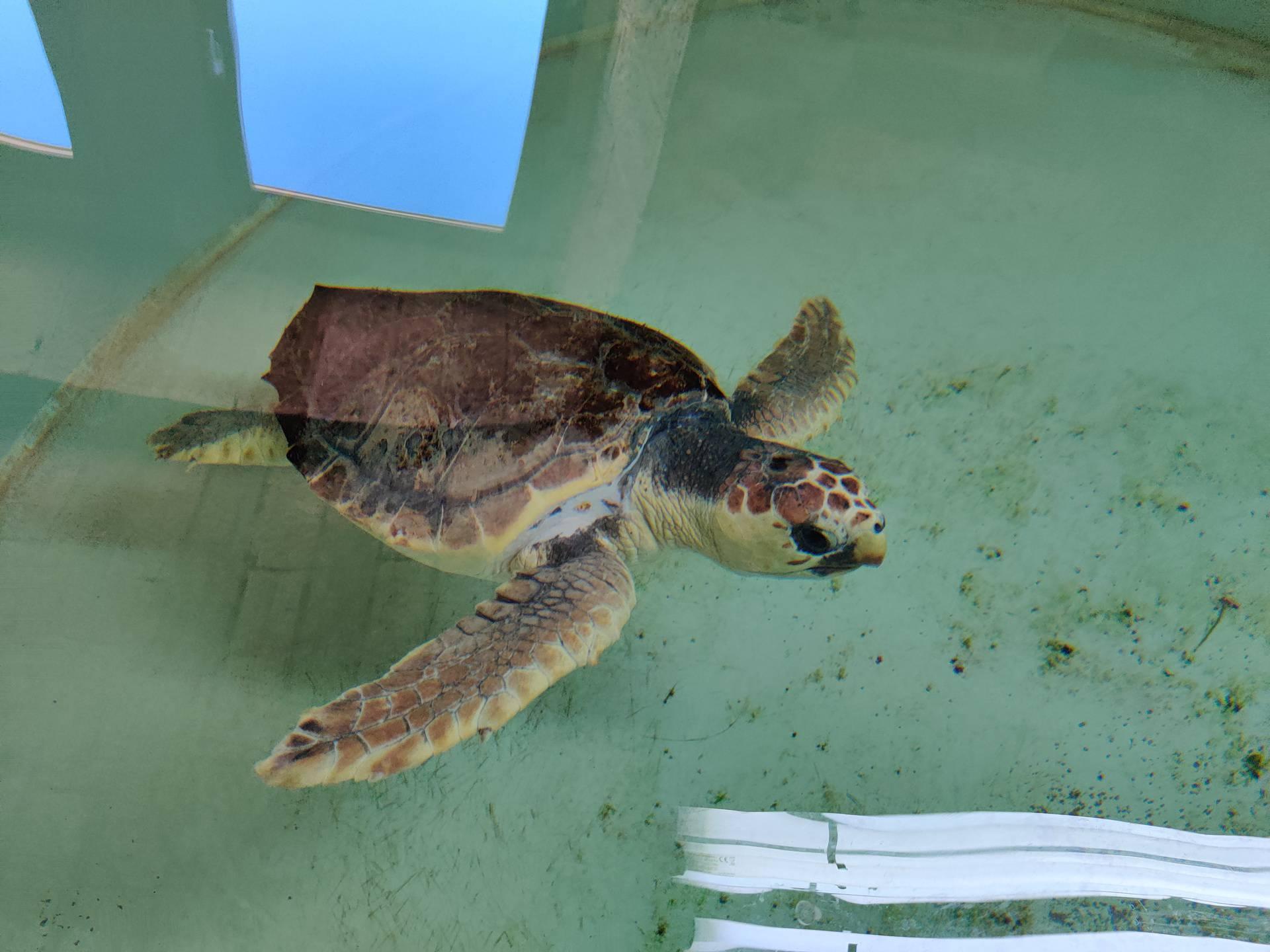 Kornjača Marvin ide u more: Bio je ozlijeđen, a sad je 'kao nov'!