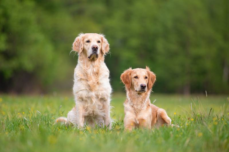 Two Golden Retrivers on a spring meadow. Small depth of field