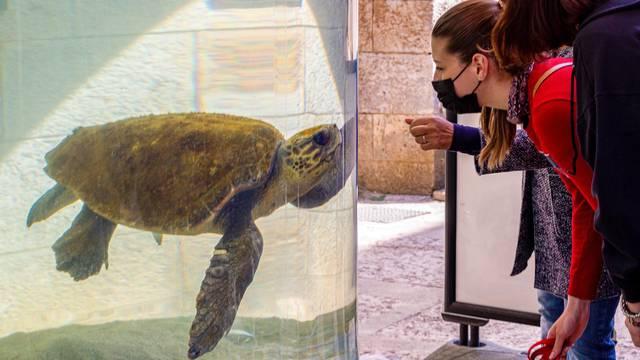 Pula: Spašeni mužjak glavate želve Karlo-Albano ima poremećaj kontrole plovnosti