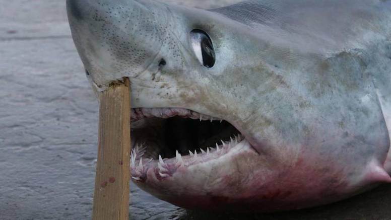 Atlantsku psinu od 1,75 metara ulovili u Šibeniku