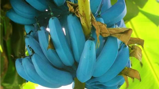 Rijetka vrsta plave banane ima okus finog sladoleda od vanilije
