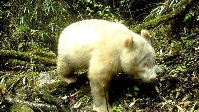 Prvi put ikada snimljena albino panda: Bila je snažna i stabilna
