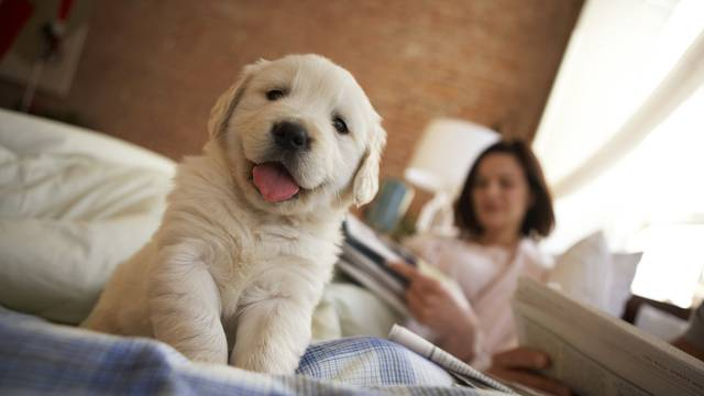 Golden retriever puppy sitting on bed, couple reading in background