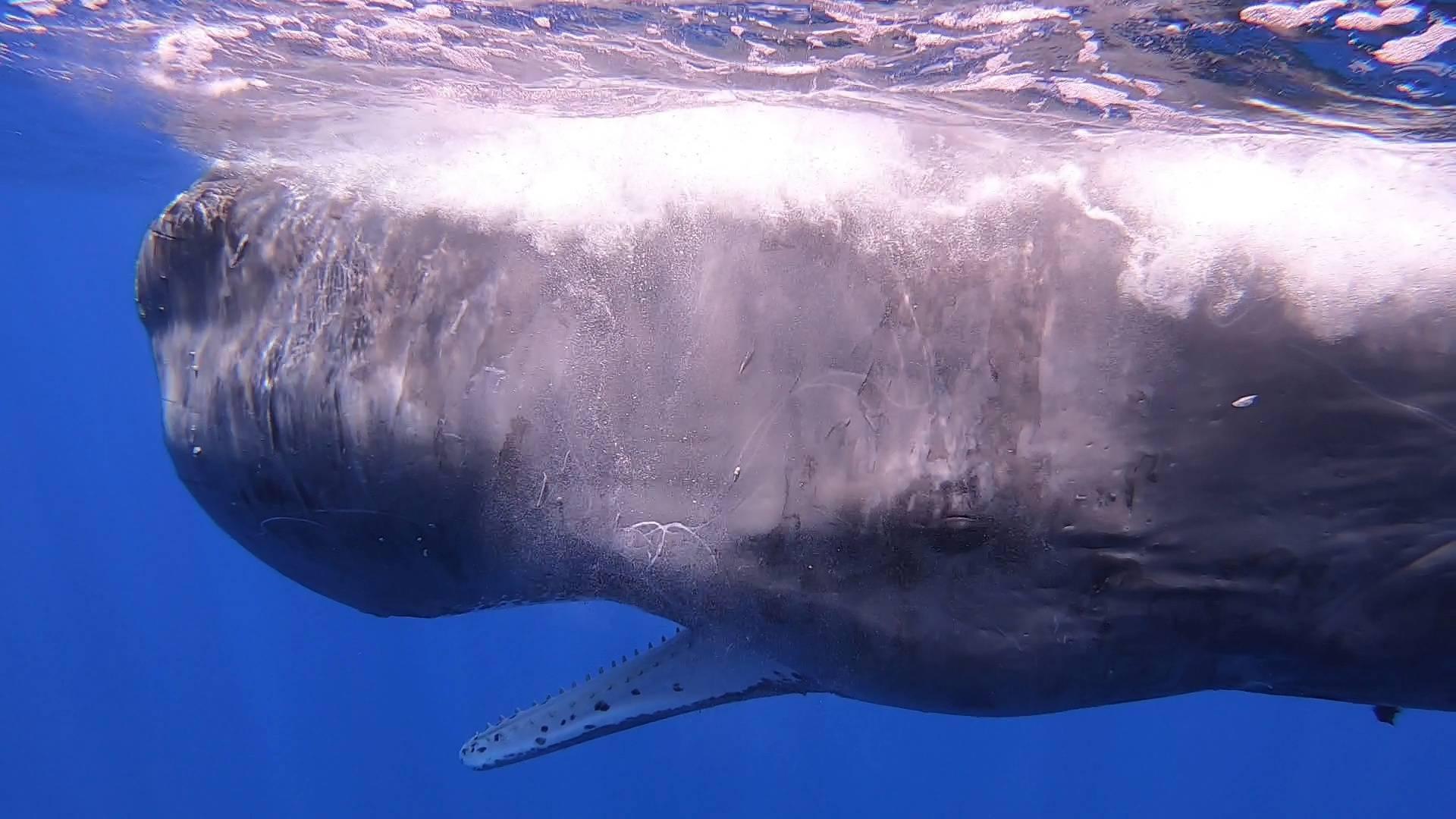 Italian coastguard work to free sperm whale entangled in fishing net