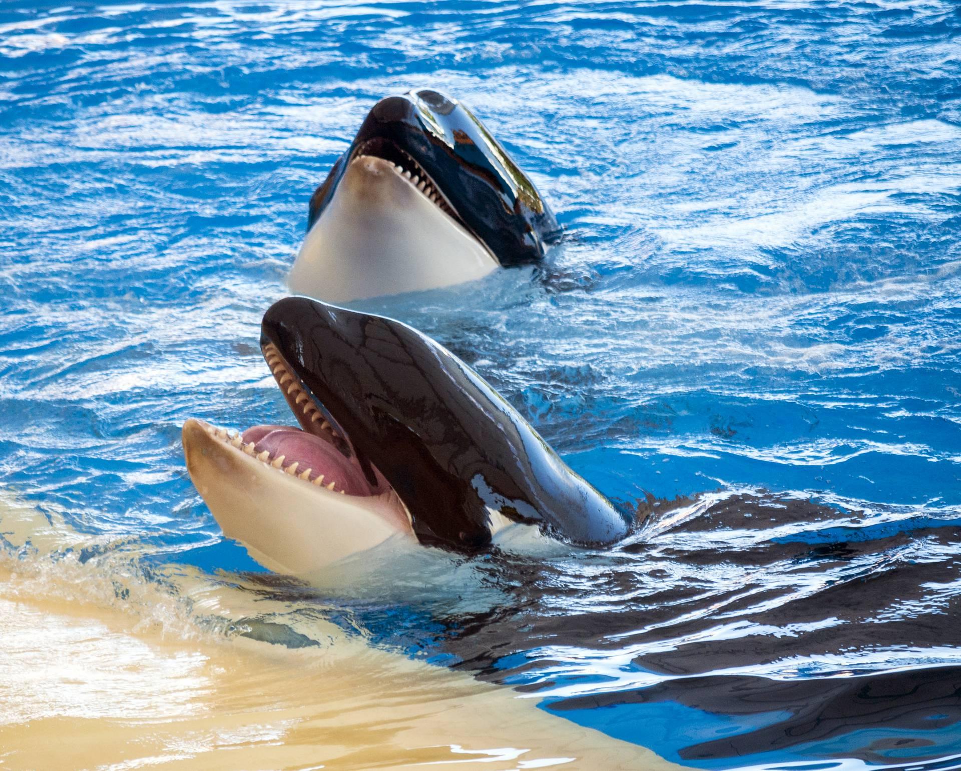 Kanadski zaljev bit će utočište za beluge i orke iz zatočeništva