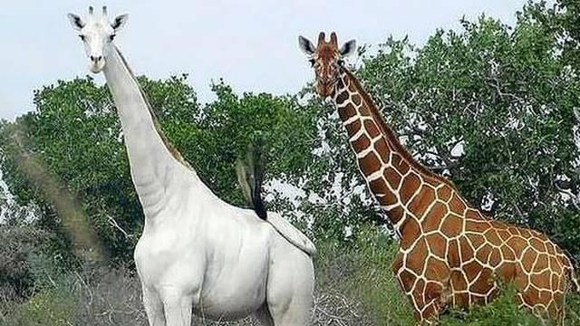 Jedinoj bijeloj žirafi na svijetu stavili GPS da je mogu spasiti