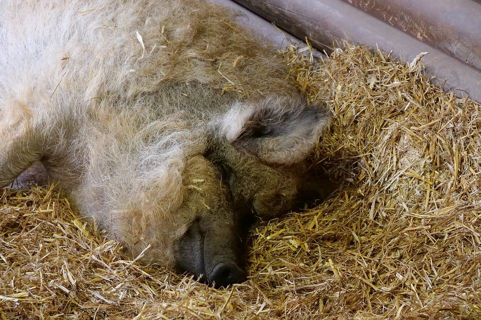 Farmer se onesvijestio: Išao po vodu u bunar, pojele ga svinje?