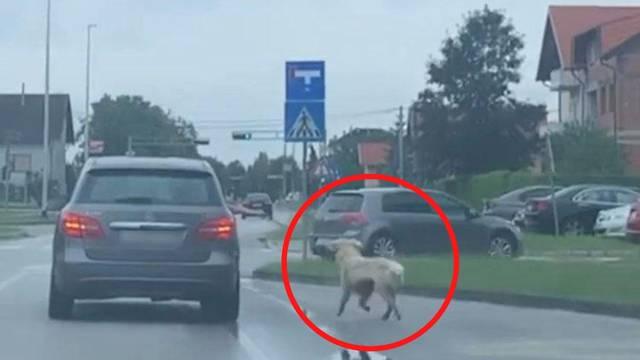 U Gorici su 'šetali' psa - iz auta, a policija kaže: Nije to mučenje