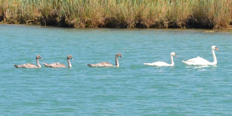 Na ljetovanju: Obitelj labudova kupala se u moru kod Poreča