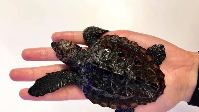 Kod Korčule našli najmanju glavatu želvu. Mini Koko je zbog ozljede na terapiji u Puli