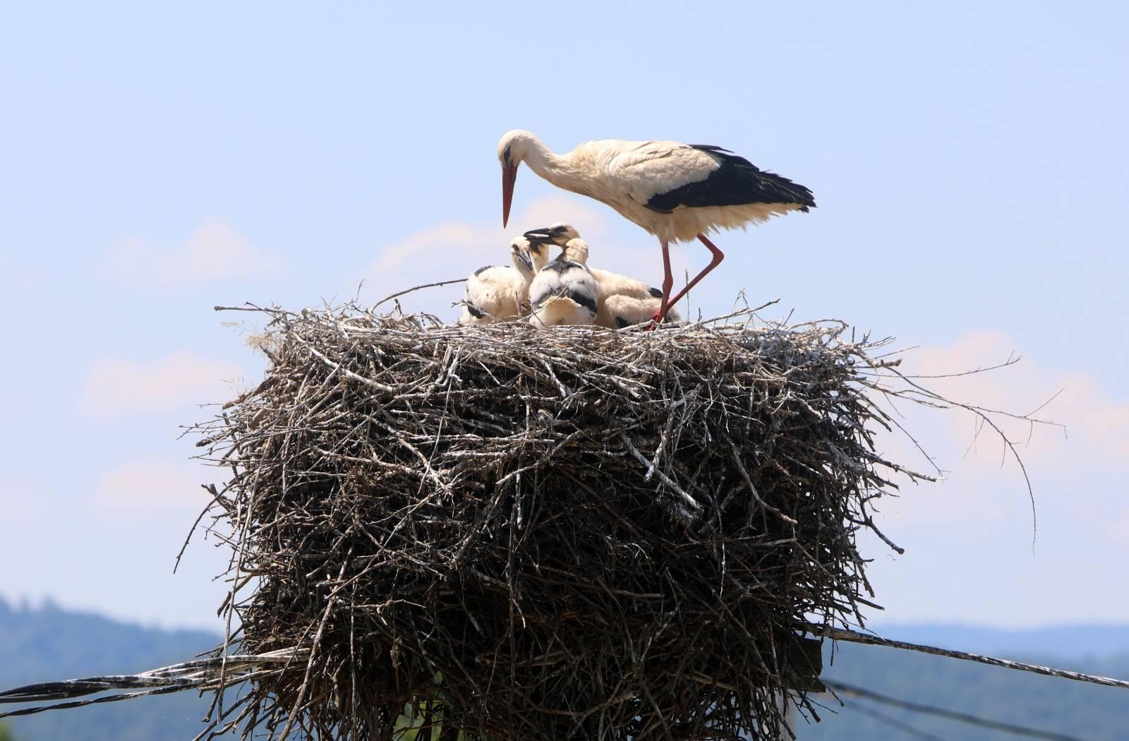 Rode u gnijezdu u mjestu Sela Bosiljevska