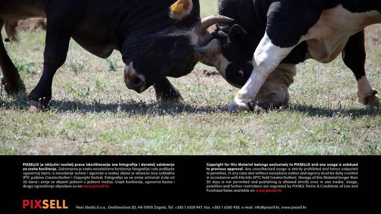 21. Seoska olimpijada i borbe bikova privukle su tisuće ljudi