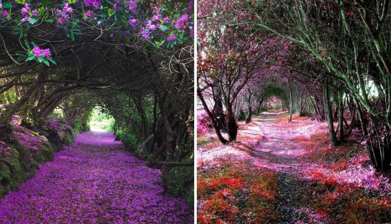Prirodni tuneli rododendrona u Irskoj - izgledaju kao iz bajke