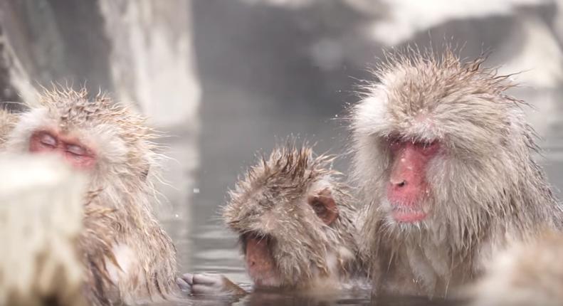 I majmuni idu u toplice: Nakon kupke su manje pod stresom...