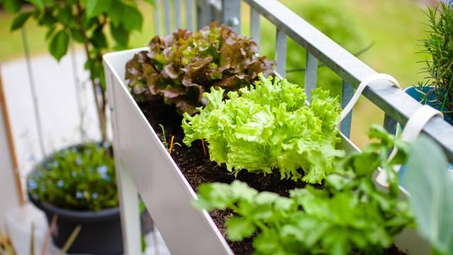 Umjesto cvijeća na balkonu posadite zelenu, hrskavu salatu