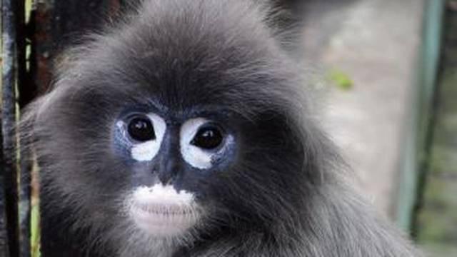 Popa langur - nova je preslatka vrsta majmuna u Mjanmaru