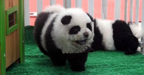 Psa obojao u pandu i skupo naplaćivao fotografiranje s njim