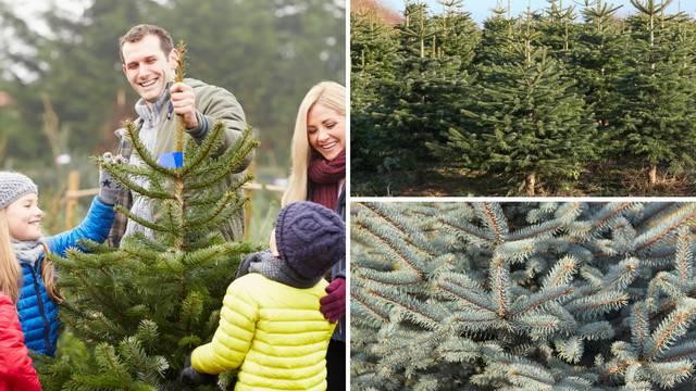 Kako izabrati savršeno božićno drvce? Ova 4 su najpopularnija