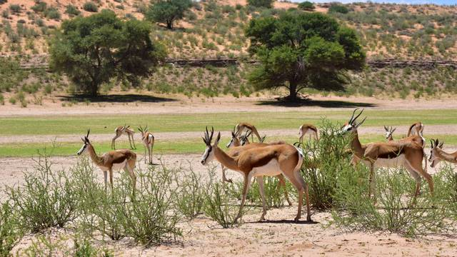 Namibia Wildlife - Springbok